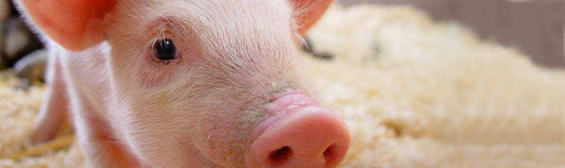 Pigs_1_clear